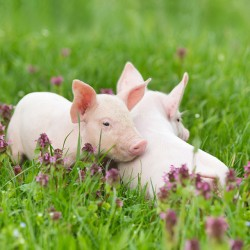 Fragrance Card Pigs in Clover