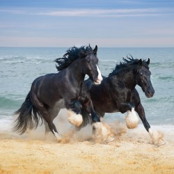 Fragrance Card Shire Horses on Beach