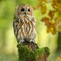 Fragrance Card Owl